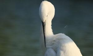 在整理羽毛的白鹭特写摄影高清图片