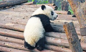 在木頭上跑來跑去的大熊貓高清圖片