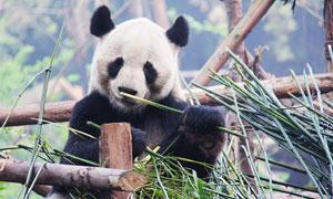 在津津有味啃竹子的大熊貓高清圖片