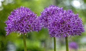 紫色鲜花植物近景特写摄影高清图片