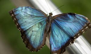 一只黑邊藍色蝴蝶特寫攝影高清圖片