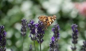 薰衣草上的一只小蝴蝶特寫高清圖片