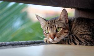 保持機警狀態的小貓咪攝影高清圖片