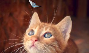 被蝴蝶吸引注意的小貓攝影高清圖片