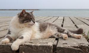 木板上優哉游哉的貓咪攝影高清圖片