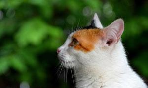 一只在看著什么的貓咪攝影高清圖片