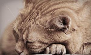 在呼呼大睡的貓咪特寫攝影高清圖片