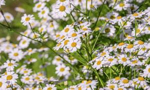 洋甘菊花草丛盛开情景摄影高清图片