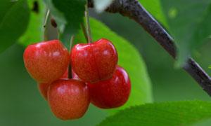 树枝上大又红樱桃特写摄影高清图片