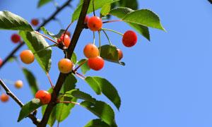 樱桃树上成熟果实特写摄影高清图片