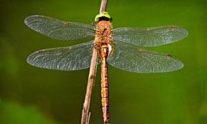 停在樹枝上的蜻蜓特寫攝影高清圖片