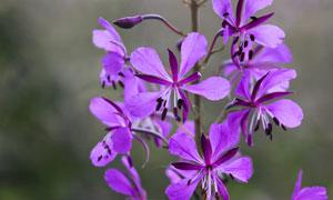 盛開著的紫色小花特寫攝影高清圖片