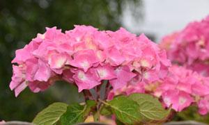 粉红色的花卉植物特写摄影高清图片