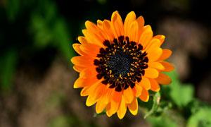 黑色花蕊鲜艳花朵特写摄影高清图片