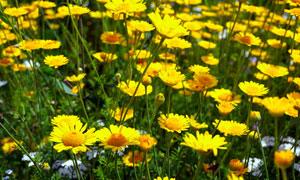 黄色的菊花丛盛开美景摄影高清图片