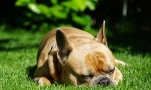 草地上埋头睡的斗牛犬高清摄影图片