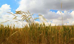 蓝天白云农田小麦风光摄影高清图片