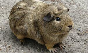 一只可爱的小仓鼠特写摄影高清图片