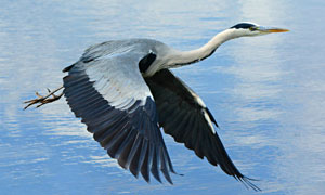 一只在飞行的苍鹭特写摄影高清图片