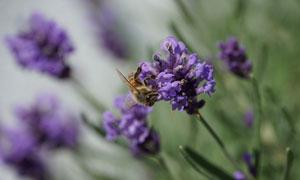 被花香吸引的蜜蜂特写摄影高清图片