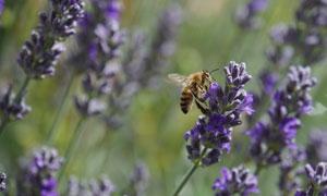 在薰衣草上采蜜的蜜蜂摄影高清图片