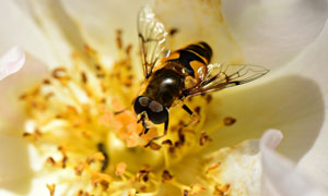 在辛勤劳作的蜜蜂特写摄影高清图片