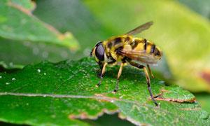 綠葉上的辛勤蜜蜂特寫攝影高清圖片