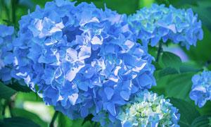 蓝色的绣球花植物特写摄影高清图片