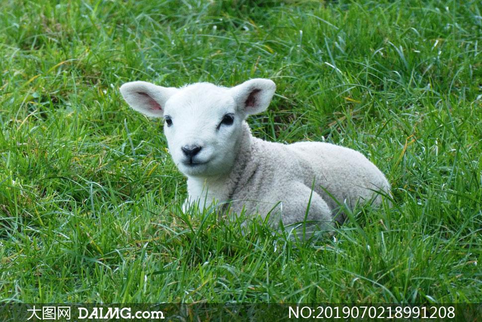 卧在草地上的温顺小羊摄影高清图片