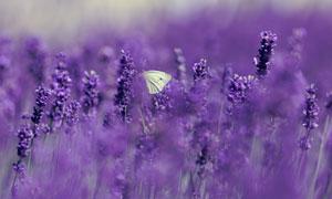 梦幻薰衣草丛中的蝴蝶摄影高清图片