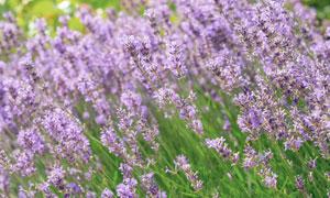 紫色花卉草丛近景特写摄影高清图片