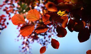 秋天树枝上的红色树叶特写高清图片