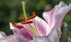 超近视角特写的百合花摄影高清图片