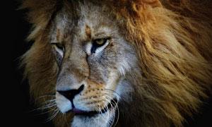 一頭兇猛獅子頭部特寫攝影高清圖片