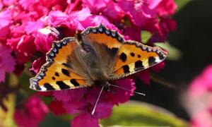 停在鮮艷花朵上的蝴蝶攝影高清圖片