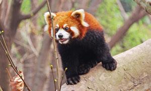 在樹林中出沒的小熊貓攝影高清圖片