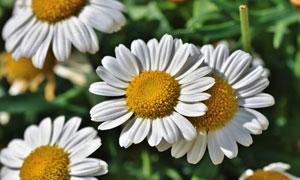 白色花瓣的洋甘菊特写摄影高清图片