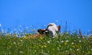臥在花草叢中的牛特寫攝影高清圖片