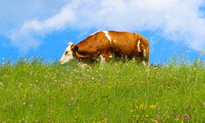 花草丛中的一头牛特写摄影高清图片