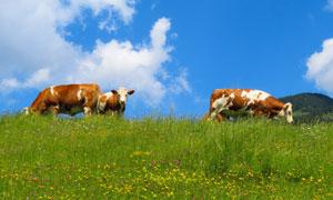 藍天白云與花叢中的牛攝影高清圖片