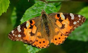 綠葉上的斑點蝴蝶特寫攝影高清圖片