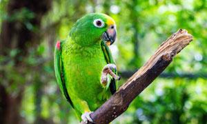 嘴里叼著食物的綠鸚鵡攝影高清圖片