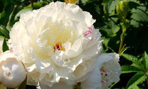 一大朵白色牡丹花特写摄影高清图片