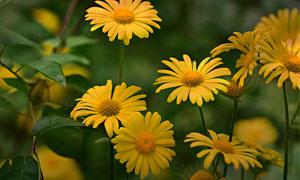 在花期绽放的黄色菊花摄影高清图片