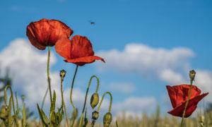 蓝天白云下的红色花朵摄影高清图片