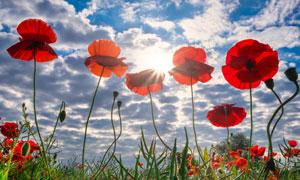 红色的罂粟花逆光视角摄影高清图片