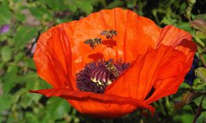 引来蜜蜂造访的罂粟花摄影高清图片