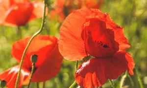 阳光下的红色花卉植物摄影高清图片
