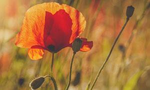草丛中的红色花朵特写摄影高清图片