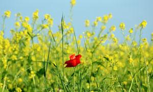 油菜花田里的一株红花摄影高清图片